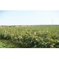 China Thin Skin Concord Black / Red Globe Grapes 26 - 28mm Rich Vitamins, The average single-grain weight 10 grams on sale