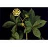 China Siberian Ginseng Extract wholesale