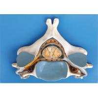 China Fifth cervical Vertrebra with Spinal cord and nerve anatomical human skeleton model on sale