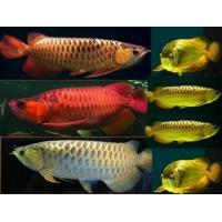 Flowerhorn fish prices images for Flower horn fish price