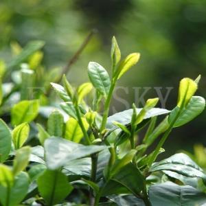 China 100% pure organic bio green tea extract wholesale