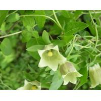 China Codonopsis Pilosula Root Traditional Chinese Herbal Medicine For Infertility wholesale