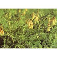 China Preventing Exhaustion Radix Astragali Of Tonifying qi  / Milkvetch Root wholesale