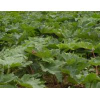 China High Quality 100% Pure Natural Herbal Rhubarb Root And Rhizome In Food Field wholesale