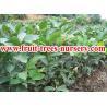 China Árvores de fruto: Goiaba wholesale