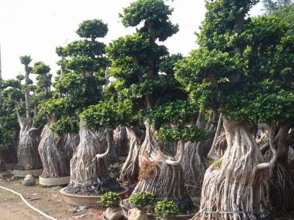 Bonsai tree ficus big images