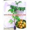 China Árvores de fruto: Lansium de Clausena, wampee, clausenae Lanii de Fructus, wampi do clausena wholesale