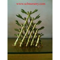 Buy cheap Lucky bamboo Spiral bamboo from wholesalers