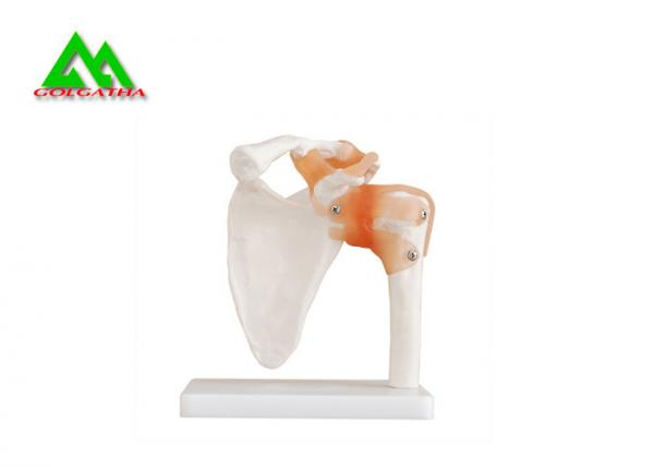 Quality Human Joint Model For Medical Teaching 11cmx4cm Corrosion Resistance for sale