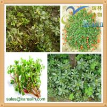 China High Quality Skin Care Purslane Powder Portulaca Oleracea Extract wholesale