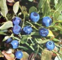 China Bilberry Extract / Cranberry Extract wholesale