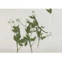 Green Pressed Flower Artwork , Decoration Pea Plant Drying And Pressing Flowers