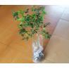 China Árvores de fruto: Mirtilo wholesale