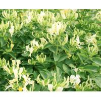 China Chlorogenic Acid Wild But Strong Dried Honeysuckle Flower Plant wholesale