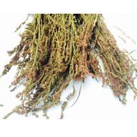 Chinese Ladiestresses Root from Spiranthes sinensis (Pers.) Ames,Spiranthes australis L,Pan long shen for herb medicine