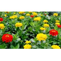 China 20%-50% Tagetes Erecta Extract ( Lutein ) ,  Natural Dietary Supplement Ingredient wholesale