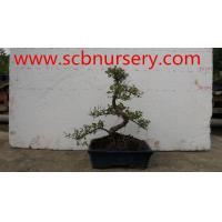 Buy cheap Bonsai  Sageretia from wholesalers