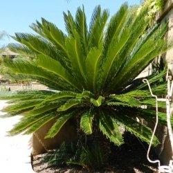 how to make a sago palm bonsai
