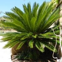 China Tropical woody Plants (Cycas Outdoor trees plants) wholesale