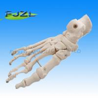 China Human Medical Anatomical Foot model, Anatomic Foot Model on sale
