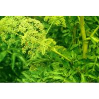 Buy cheap Traditional Chinese Medicines Angelica Sinensis ( dang gui ) Chinese Angelica Herbs from wholesalers