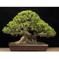 China Outdoor Large Bonsai Tree (Ficus benjamina cages) wholesale