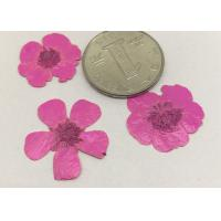 Buttercup Dried Pink Flowers , Small Pressed Flowers For Plant Teaching Specimen