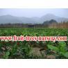 China Árvores de fruto: Pomelo, shaddock, toranja, yuzu wholesale