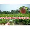 China Árvores de fruto: Fruto de paixão, granadilho, paixão wholesale