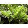 Polygonatum Odoratum Extract Natural Health Supplements Polysaccharides for sale