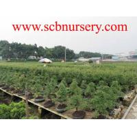 Buy cheap yplant Bonsai from wholesalers