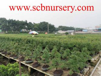 SUPERIOR CHINESE BONSAI NURSERY CO.,LTD