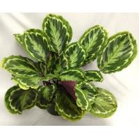 "China Calathea ""Princess""--House plant wholesale"