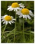China Factory supply high quality ingredient Chamomile Flowers Extract, Apigenin 98% HPLC, CAS No.:520-36-5 on sale