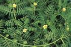 China Organic plant extract tribulus terrestris extract wholesale
