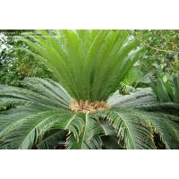 China cycas mini indoor Green plants wholesale