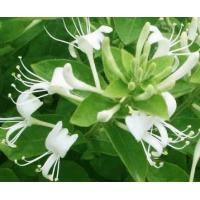 China Vitamin or Supplement Dried Yellow Honeysuckle Flower Tea Chinese Weight Loss Herbs wholesale