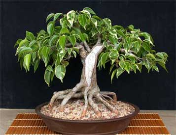Ficus bonsai tree images for Ficus benjamin potatura