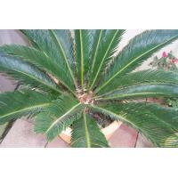 China Cycas Revoluta (Sago Palm) wholesale