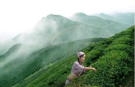 The supply of natural resources in the west of Hubei Province Green Tea Se tea health tea