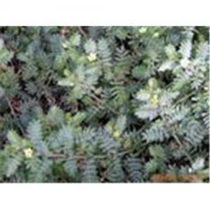 China Tribulus terrestris extract wholesale