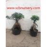 China Ginseng ficus wholesale