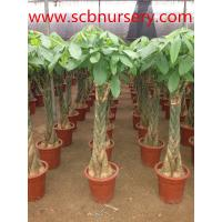 Buy cheap Bonsai   Pachira from wholesalers