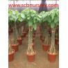 China Bonsai   Pachira wholesale