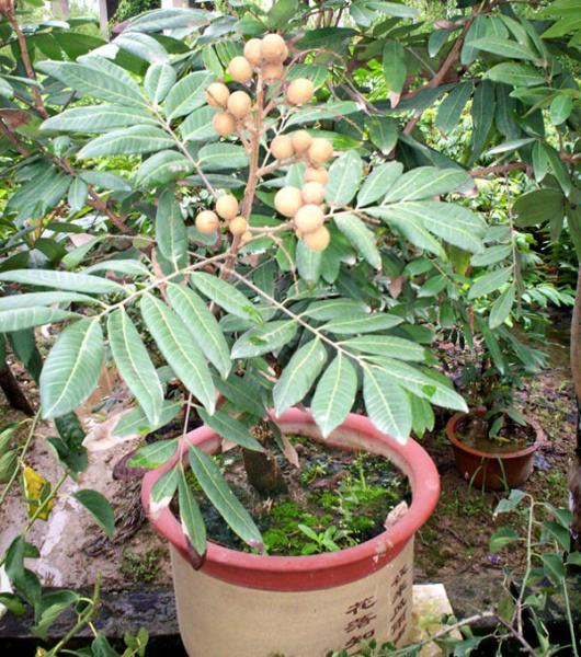 Quality Árvores de fruto: Longan, longan da euforia, lungan, olho do dragão for sale