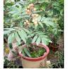 China Árvores de fruto: Longan, longan da euforia, lungan, olho do dragão wholesale