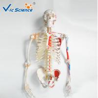 China 180cm Tall Life Size Anatomical Skeleton  For Medical Students With Muscles And Ligaments wholesale