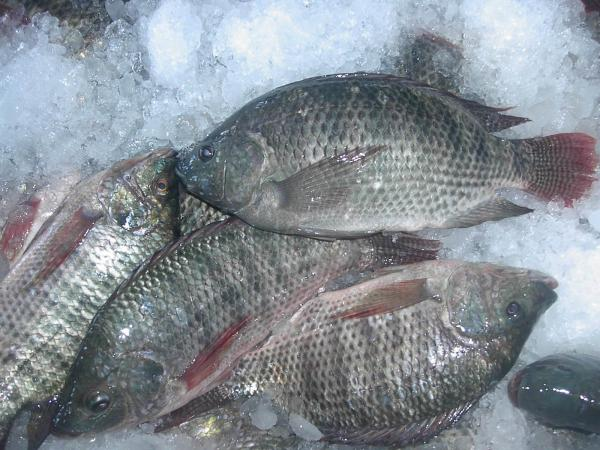 how to cook frozen whole tilapia