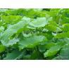 Manufacturer Supply natural high quality lotus leaf extract, Nelumbo Nucifera Gaertn. -Folium Nelumbinis