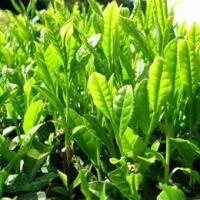 China Green Tea Extract/Camellia Sinensis/Green Tea Polyphenols wholesale